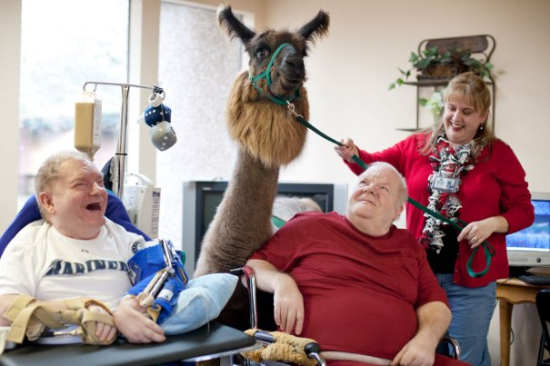 Llama Marisco visits patients at Bellingham Health and Rehabilitation Center in Washington, USA