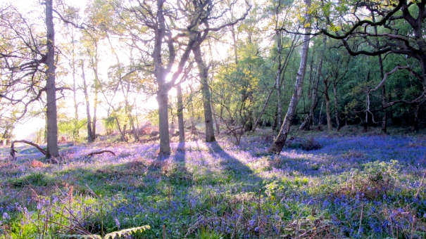 Bluebell bliss at dusk ©Emma Tuzzio