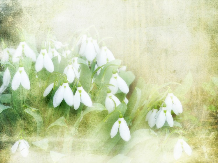 Snowdrops by Nick Kenrick/Flickr