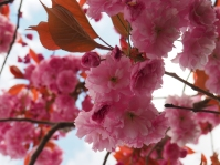 Cherry Blossom ©Emma Tuzzio