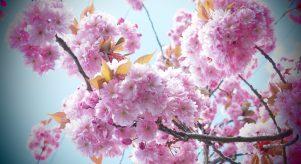 Cherry Blossoms ©Emma Tuzzio