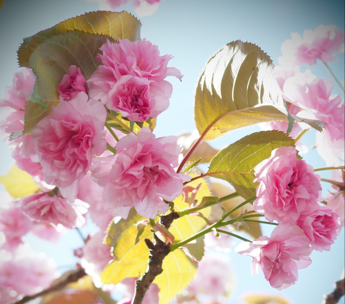 Pretty in Pink: Cherry Blossom Photography & Symbology