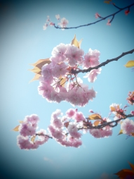 Cherry Blossoms ©Emma Tuzzio